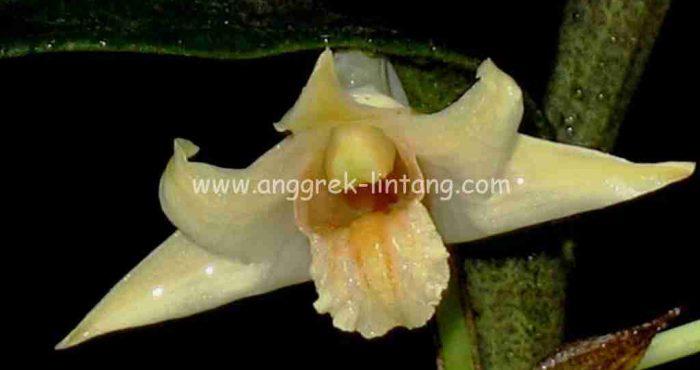 Dendrobium singkawangense