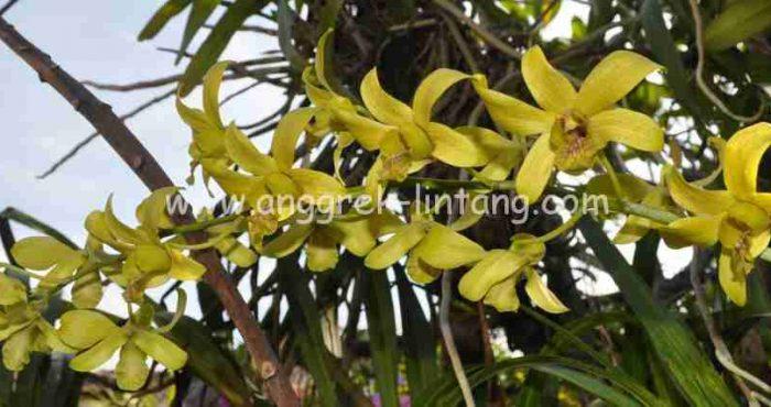 Dendrobium schulleri