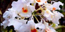 Dendrobium igneoniveum