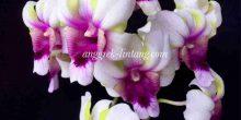 Dendrobium Rasa Sayang