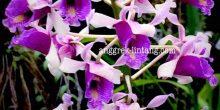 Dendrobium ionoglossum