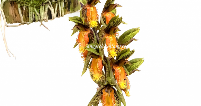 Catasetum schunkei