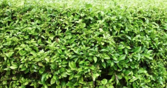 tanaman pagar